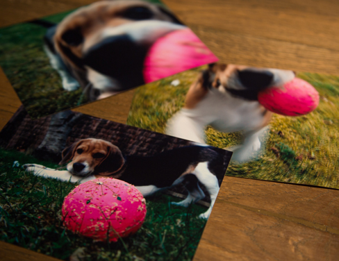 Printed photographs of a cute Beagle dog with his pink ball on a woody desk.